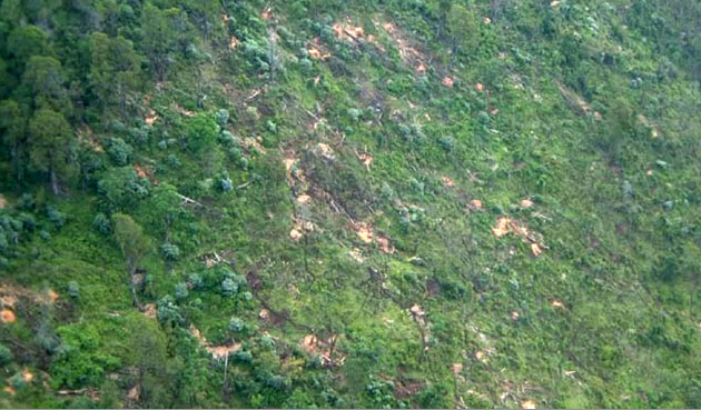 Illegal Logging: Illegal logging of indigenous cedar trees in the Aberdare mountain region.